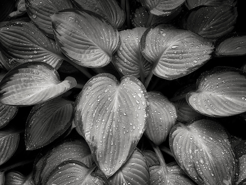 Close up of Hosta plant with rain drops. Schrieners Iris Gardens. Oregon