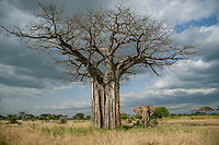 Scale is even more magnified when two giants in nature come together as the grand bull elephant grazes beneath a massive baobab tree in Tarangire National Park.