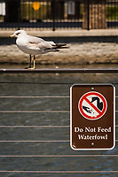 """A ring-billed gull poses next to a sign telling visitors to a neighborhood park and pond """"Do Not Feed Waterfowl""""."""