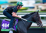 ARCADIA, CA - NOV 01: Tourist, owned by WinStar Farm, LLC, Adam Wachtel & Gary Barber and trained by William I. Mott, exercises in preparation for the Breeders' Cup Mile at Santa Anita Park on November 1, 2016 in Arcadia, California. (Photo by Kazushi Ishida/Eclipse Sportswire/Breeders Cup)
