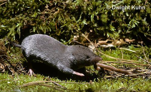 MU11-007z  Short-tailed Shrew - attacking worm prey -  Blarina brevicauda