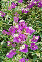 Bougainvillea 'Blueberry Ice' with variegated foliage