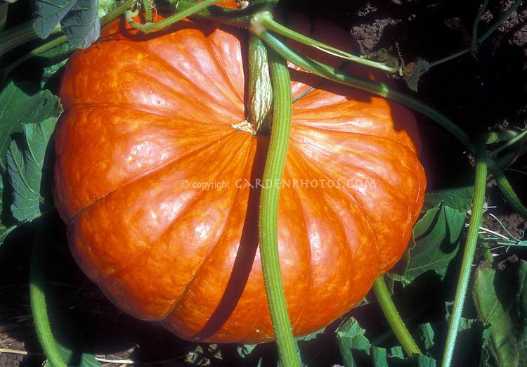 Large Cinderella pumpkin growing in garden Rouge d'Hiver or Rouge d'Etamps