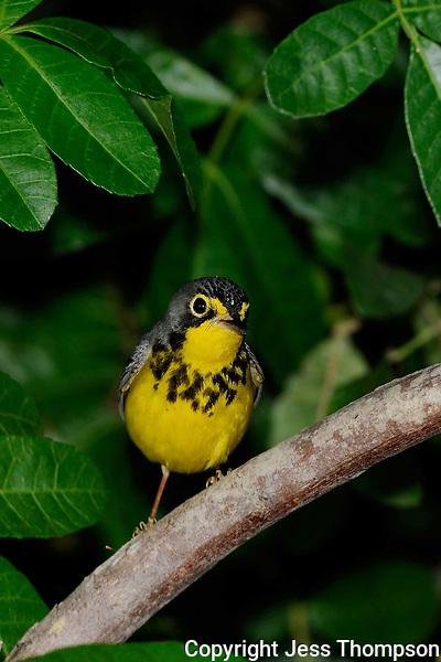 Canada Warbler, Rockport, Texas