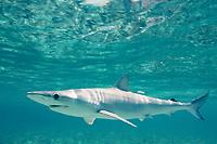 Caribbean Sharpnose Shark