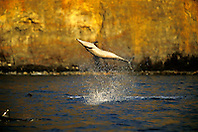 long-snouted spinner dolphin leaping, Stenella longirostris, Kealakekua Bay, Big Island, Hawaii, Pacific Ocean