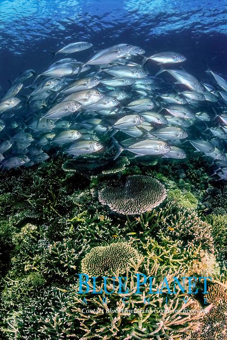 Big-eye trevally, Caranx sexfasciatus, and Table coral, Acropora cythrea, Elk horn coral, Acropora robusta, Pulau Sipadan, Sabah, Malaysia, Sulawesi sea