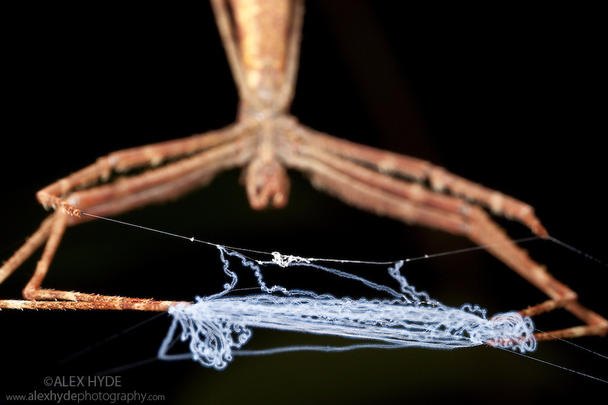 Ogre faced / Net-casting spider {Deinopis sp} at night with web held between legs ready to stretch over invertebrate prey. Lowland rainforest, Masoala Peninsula National Park, north east Madagascar.