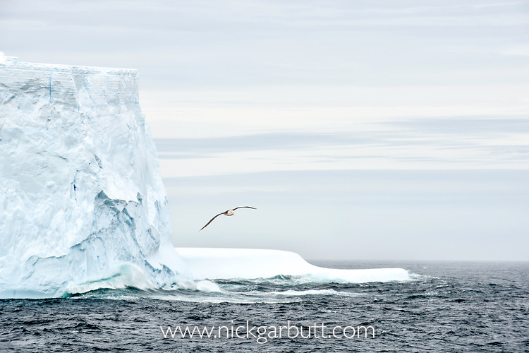 Black-browed albatross (Thalassarche melanophris) in flight close to large iceberg. South Atlantic Ocean between The Falklands and South Georgia.