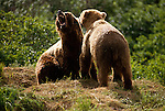 Mating grizzly bears in Alaska