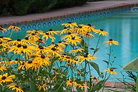 Rudbeckia hirta - Black-eyed Susan, native perennial wildflower in Minnesota garden by swimming pool