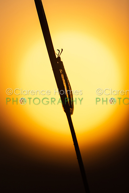 A dew-covered adult Antlion (Myrmeleon sp.), perching on its overnight roost, is silhouetted by the sun at sunrise.