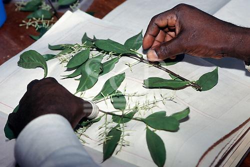 Makande, Gabon. Botanists working in the Base Camp laboratory sorting specimens.