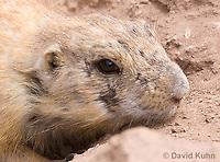 0721-1121  Black-tailed Prairie Dog Eating Prairie Grass, Cynomys ludovicianus  © David Kuhn/Dwight Kuhn Photography