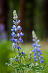 Silky Lupine, predominant east of the Cascade Mountains in pine forest and sage, grows along the Chewuch River near Wintrop, Washington.  An ant descends the stem.  The Chewuch River runs from the Pasayten Wilderness in the North Cascade Mountains toward the Methow River at the village of Winthrop, where the two merge to drain throught the Methow Valley to the mighty Columbia at Lake Pateros.