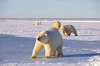 polar bear, Ursus maritimus, mother walking lightly on the pack ice of the frozen coastal plain, 1002 area of the Arctic National Wildlife Refuge, Alaska, polar bear, Ursus maritimus