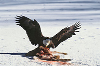 Bald Eagle feeding on deer carcass in winter.  Western U.S.
