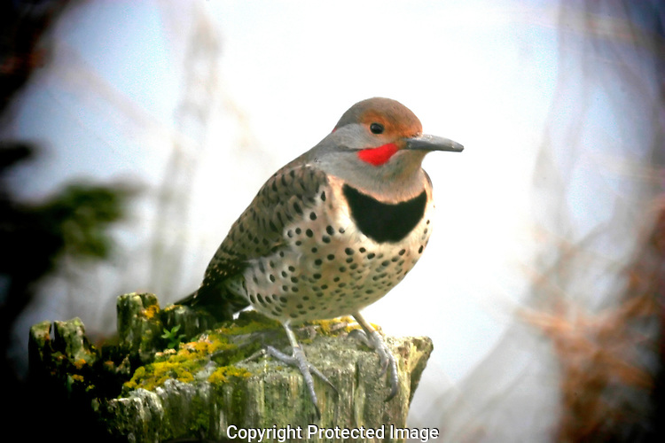 """Northern """"Red-shafted"""" Flicker"""