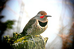 "Northern ""Red-shafted"" Flicker"