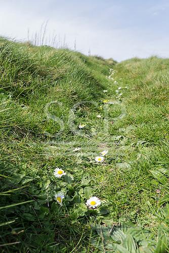 Gunwalloe, Cornwall, England. Climbing path full of daisies.