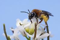 Rotschopfige Sandbiene, Rotfransige Sandbiene, Rotschwanz-Sandbiene, Sand-Biene, Sandbiene, Wildbiene, Weibchen, Andrena haemorrhoa, syn. Andrena albicans, Orange-Tailed Mining-Bee, Orange-Tipped Mining-Bee, mining bee, Andrenidae, Sandbienen, female, mining bees, burrowing bees, mining bee, burrowing bee, Blütenbesuch an Knoblauchsrauke, Alliaria petiolata, Pollenhöschen