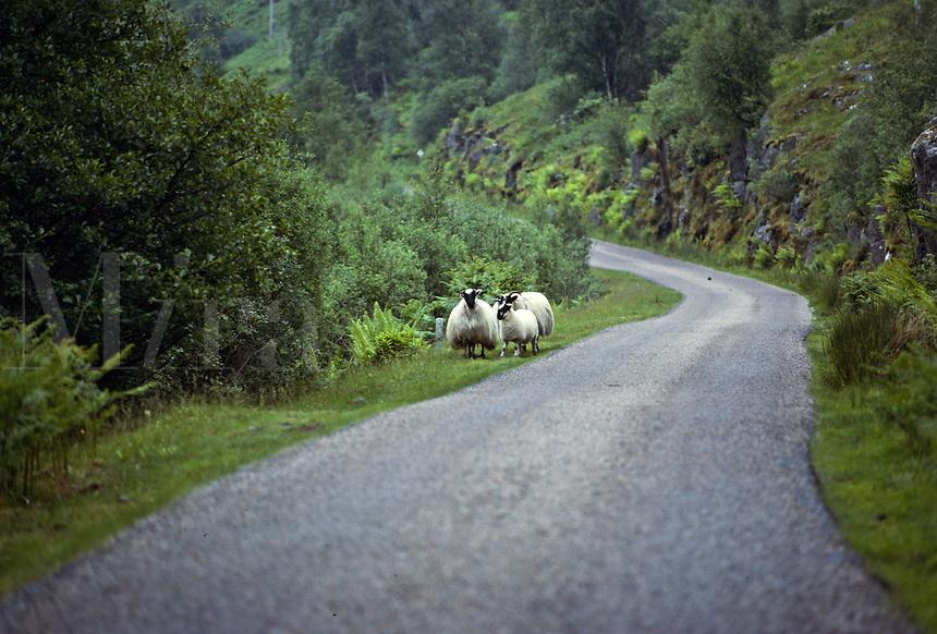 Sheep along a country road, Scotland
