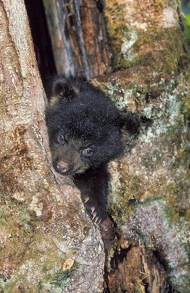 Black Bear cub (Ursus americanus) hides in maple tree stump..Summer. Pacific Coast.Autumn. ..