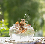 Squirrel cools off in bowl of water by Geert Weggen
