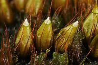 Beblättertes Blasenmoos, Blasenmoos, Blasebalgmoos, Diphyscium foliosum