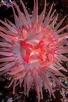 crimson anemone, Cribinopsis fernaldi, Vancouver Island, British Columbia, Canada