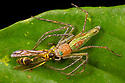 Lynx Spider {Oxyopidae} feeding on freshly-caught wasp that it has ambushed. Danum Valley, Sabah, Borneo. June.