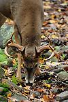 Whitetail buck 2011