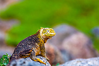 Portrait of a colorful land iguana posing on volcanic rock, with blurred green vegetation background in the Galapagos Islands, Ecuador