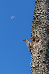 Northern flicker adult and nestling  in northern Wisconsin.