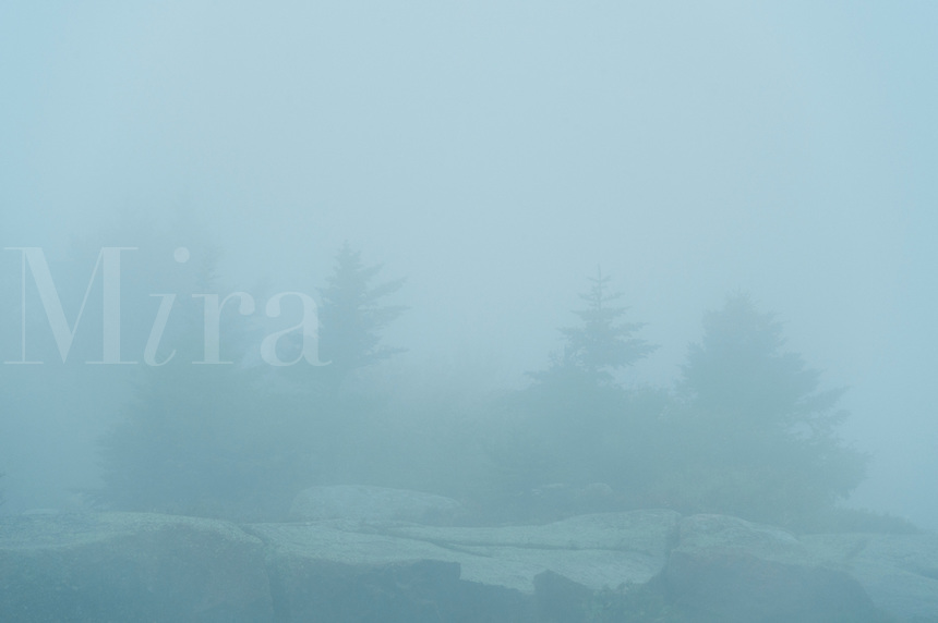 Conifer trees in heavy fog, Acadia NP, Maine, ME, USA