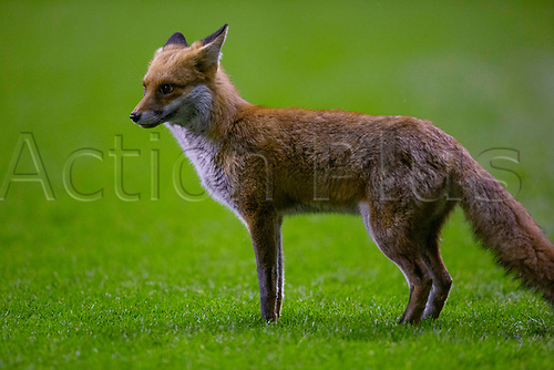 15th November 2020; Easter Road, Edinburgh, Scotland; Scottish League Cup Football, Hibernian versus Dundee FC; The fox which invaded the pitch during the second half of the match