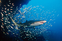 sand tiger shark, Carcharias taurus, wreck of the Papoose, North Carolina, USA, Atlantic Ocean