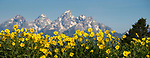 Arrowleaf balsamroot (Balsamorhiza sagittata) growing en-mass with the Grand Teton mountain range in the background. Grand Teton National Park, near Jackson Hole, Wyoming, USA. June
