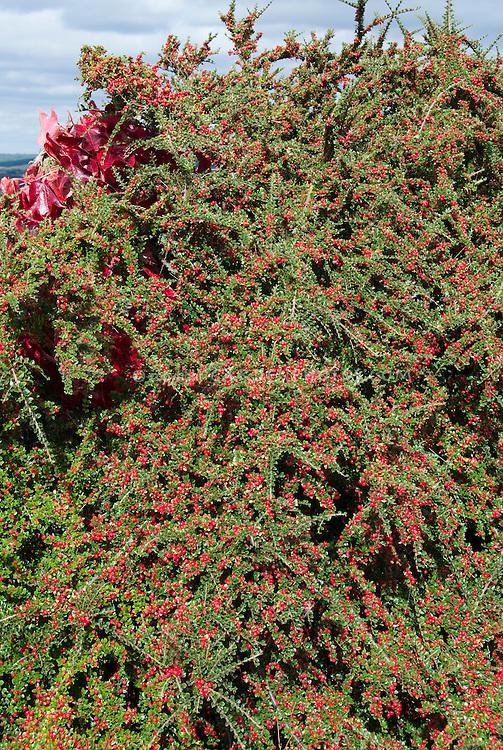 Cotoneaster horizontalis Berries in fall fruit