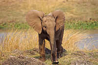 Young African elephant calf.  Africa.