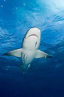 Lemon shark underwater in Bahamas. Negaprion brevirostris, Caribbean, Atlantic