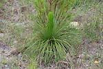 The longleaf pine seedling starts the journey out of the grass stage.  When it starts to grow up, it has to get its growing tip up high enough to be above a ground fire or die, so it grows incredibly fast.