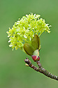 Flowers of Norway maple (Acer platanoides 'Globosum'), early April.