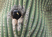 European Starling, Sturnus vulgaris, looks out of its nest cavity in a Saguaro cactus, Carnegiea gigantea, in the Desert Botanical Garden, Phoenix, Arizona