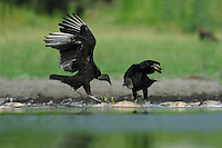 Black Vulture (Coragyps atratus), adults eating on dead fish, Dinero, Lake Corpus Christi, South Texas, USA