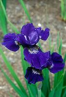 Siberian Iris Prussian Blue in spring flowers
