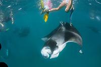 reef manta ray, Mobula alfredi, trying to feed on plankton, dives to get away from snorkeler touching it, Hanifaru Bay, Baa Atoll, Maldives, Indian Ocean