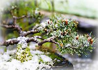 Bonsai Tree in the Winter with fresh fallen snow