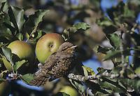 Eurasian Wryneck, Jynx torquilla, adult in Apple Tree, Oberaegeri, Switzerland, September 1995