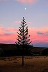 Patagonia sunset 2010, Monkey Puzzle Tree